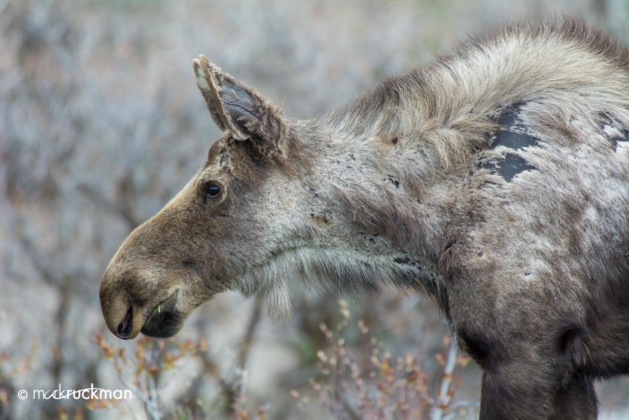 Molting moose. Submitted by: Mark Ruckman