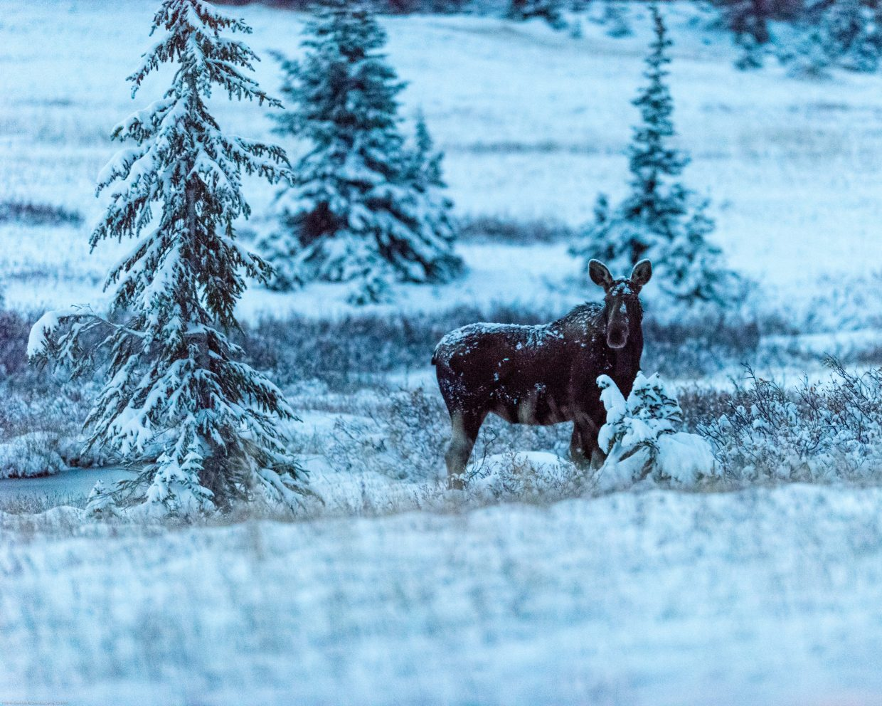 Moose on Buff Pass 30 minutes before sunrise. Submitted by: Mark Ruckman