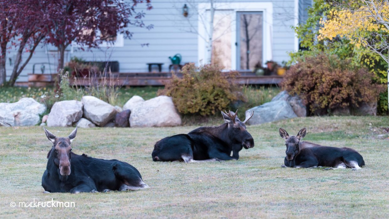 Shot at 7:30 a.m. Friday along Steamboat Boulevard — nice grouping of a male, female and yearling. Submitted by: Mark Ruckman