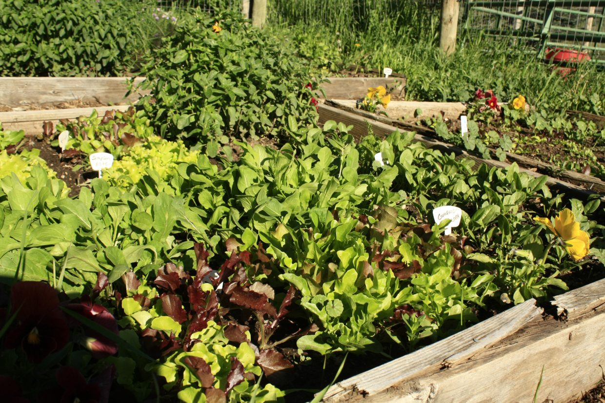 Leafy greens, interspersed with edible flowers, help ward of pests and make gardens beautiful.