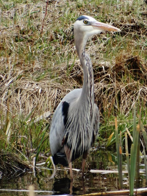 Blue heron. Submitted by Annette Zuber.