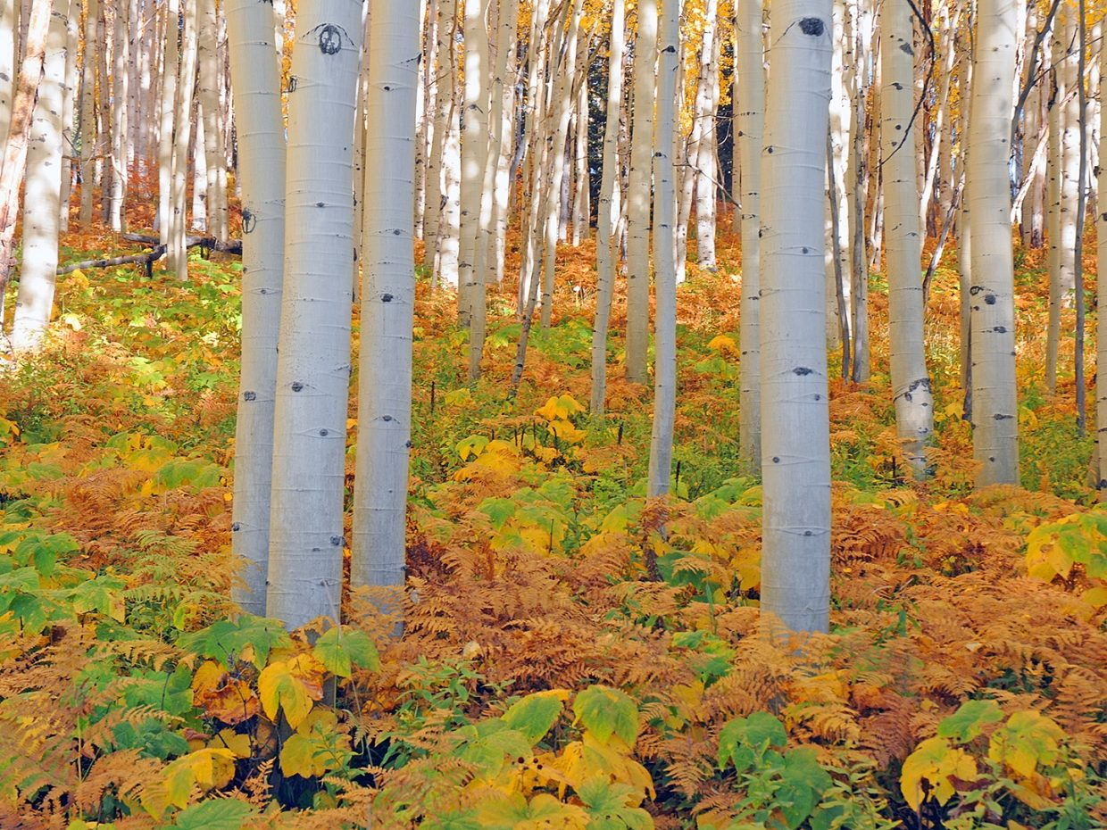 Aspens and ferns on Buffalo Pass. Submitted by Jeff Hall.