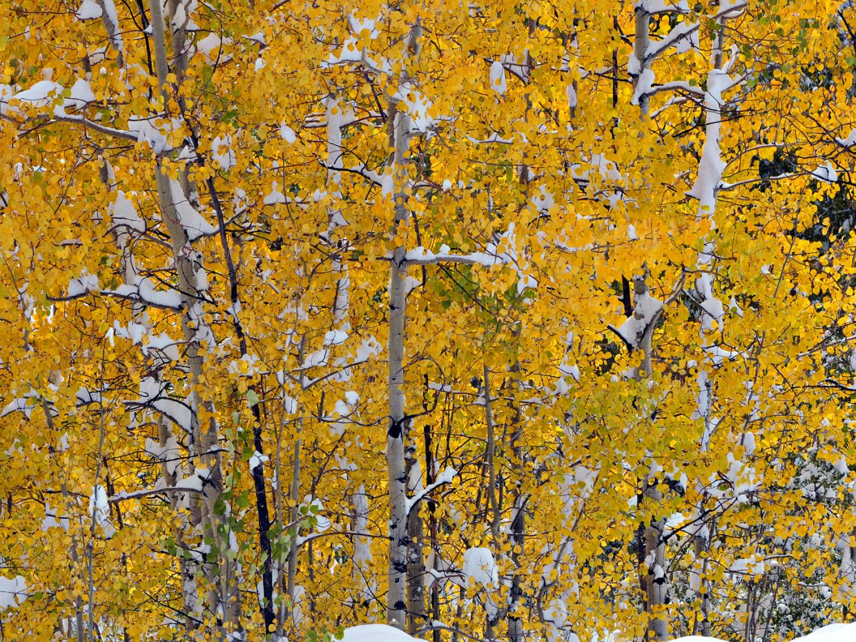 Gold leaves and snow. Submitted by: Jeff Hall