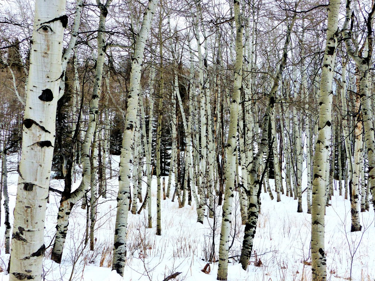 """We're waiting for the storm. Some aspen trees in the snow, on Buff Pass."" Submitted by Shannon Lukens."