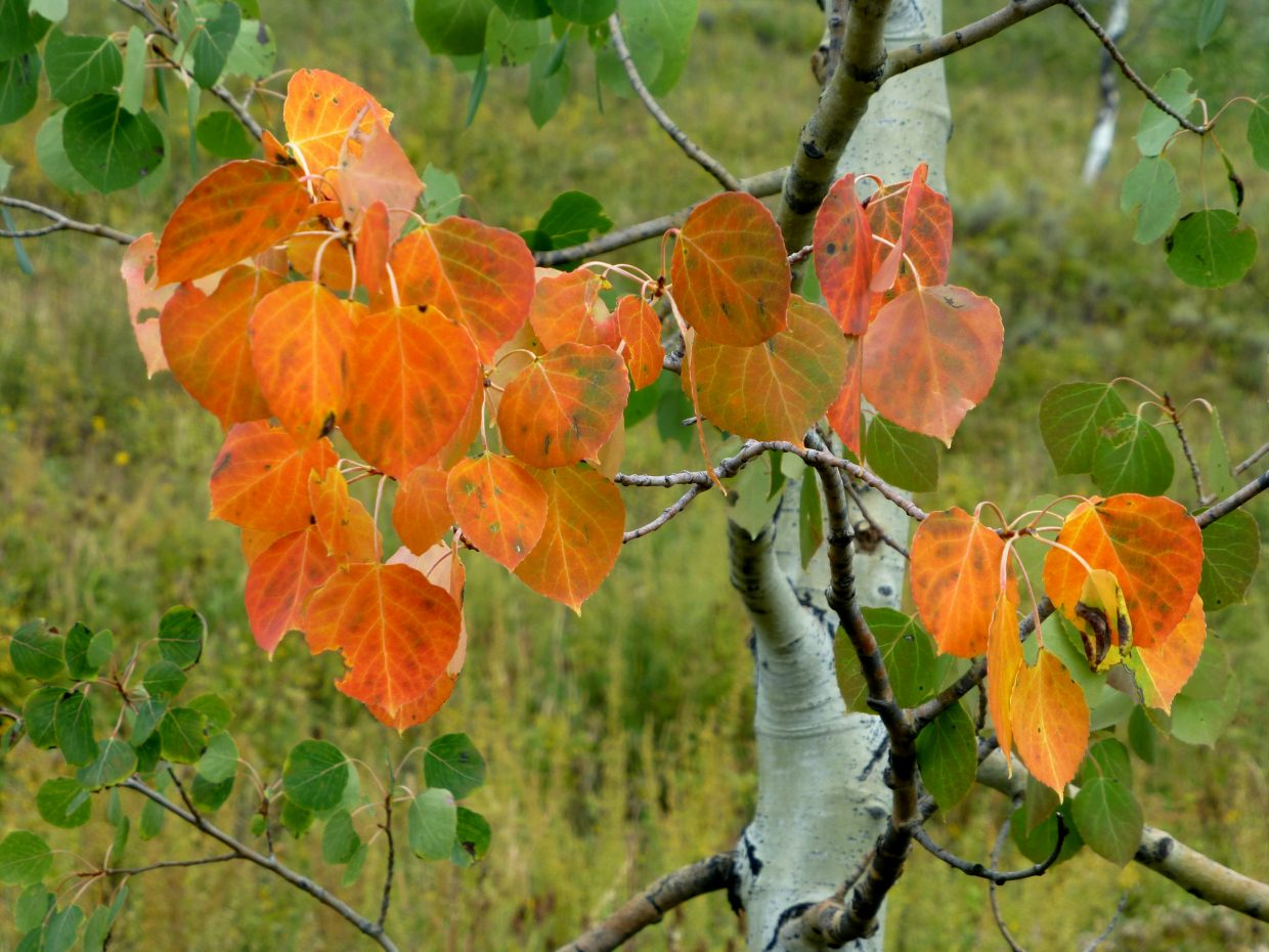 Aspens turning on the Wyoming Trail. Submitted by: Gail Hanley