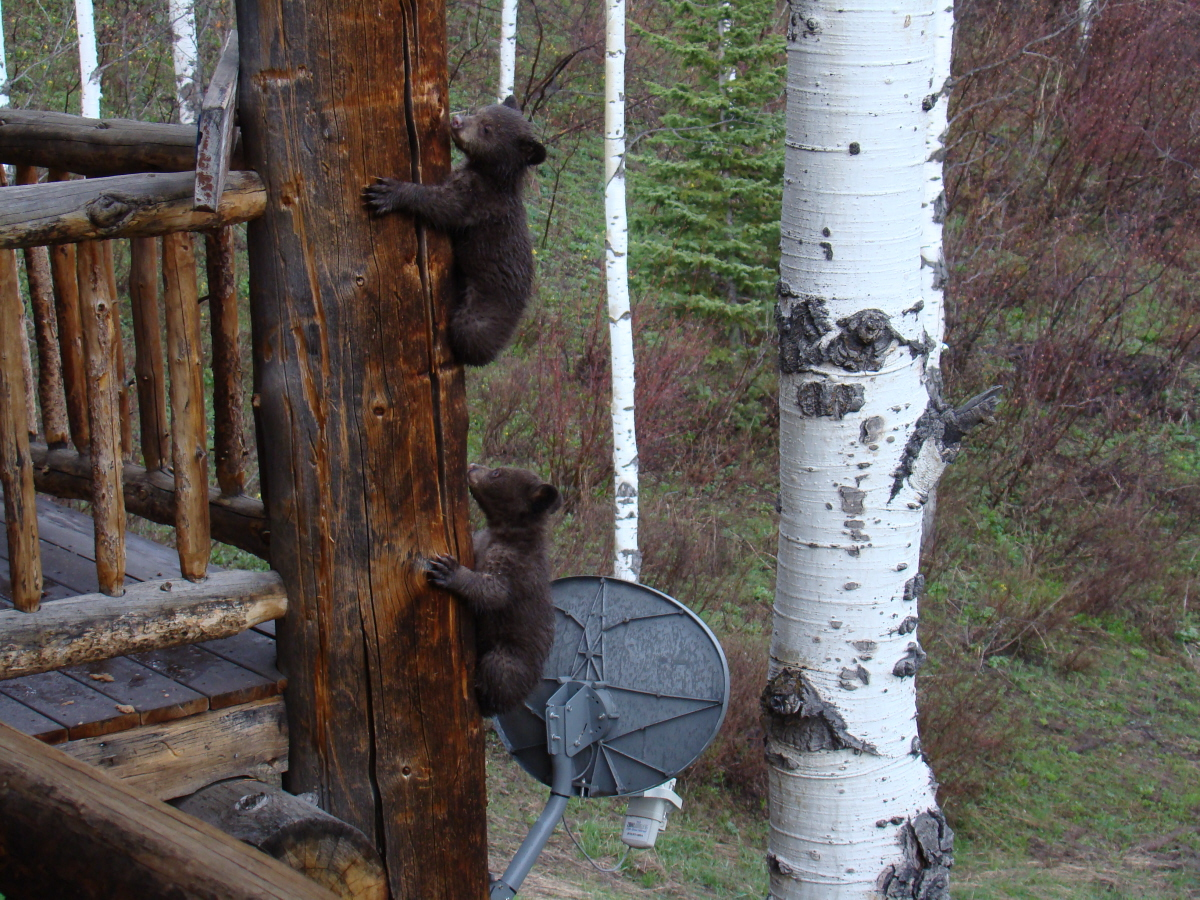 Backyard bears. Submitted by: Rick Restall