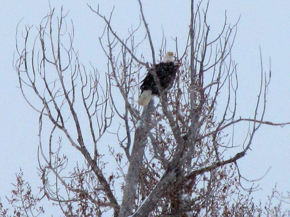 A bald eagle in Hayden. Submitted by Joshua Cook.