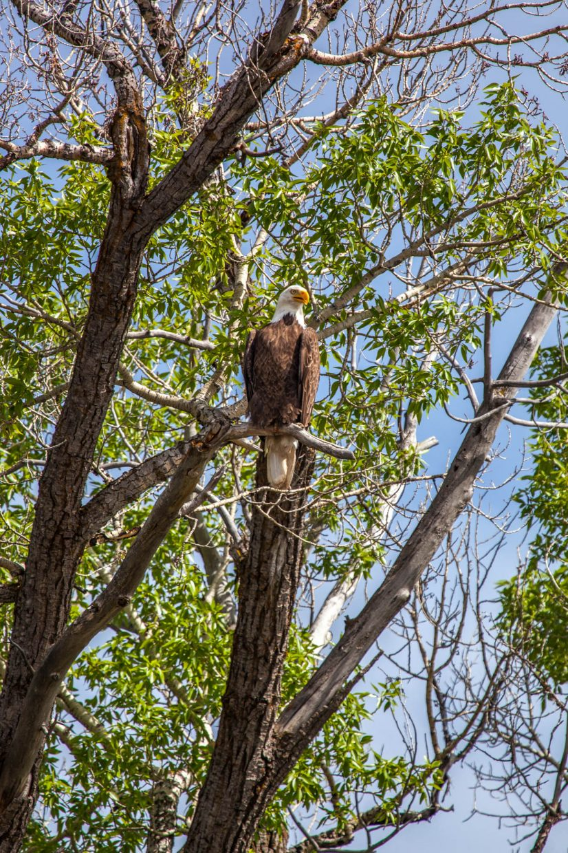 John Fielder shot this photo of a bald eagle in the Yampa Valley.