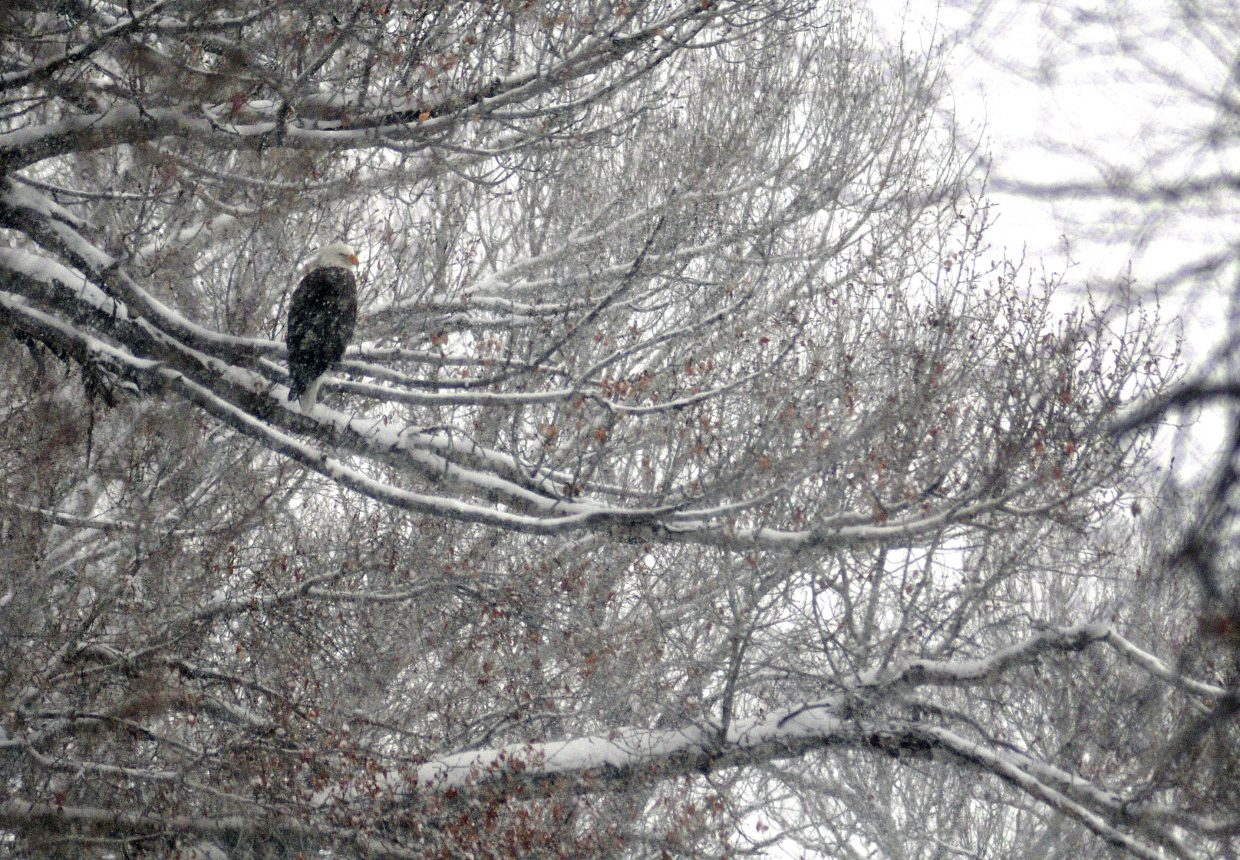 A bald eagle perches in a cottonwood tree near Yampa in South Routt County. A recent count in Routt County revealed the local population of bald eagles still is strong.