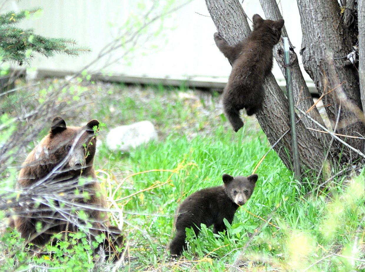 CMC professor Shawn Sigstedt says bears use their keen sense of smell to find medicinal plants in the wood of Northwest Colorado.