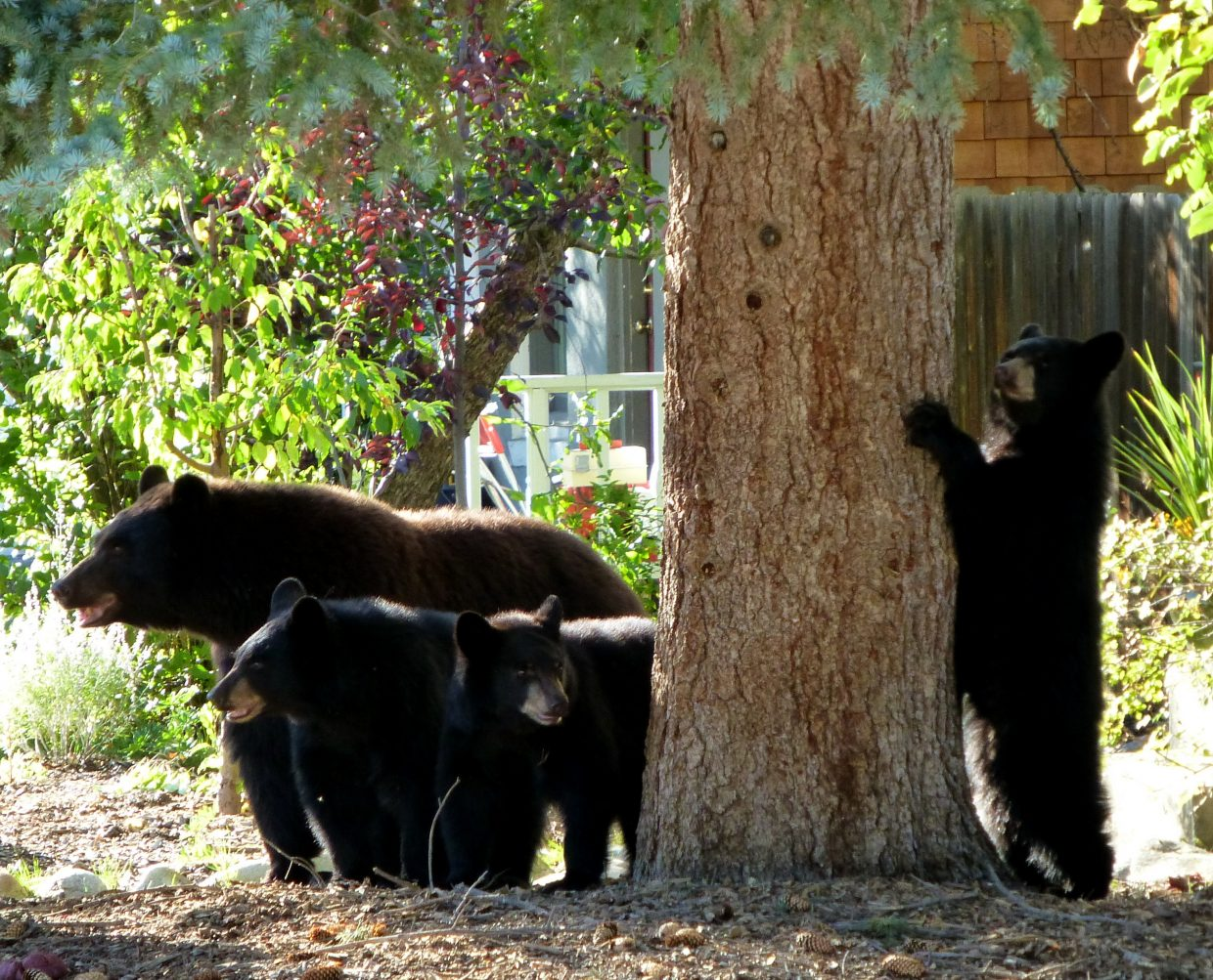 Bear pics from our neighbor's house downtown Sunday. Submitted by: Gail Hanley