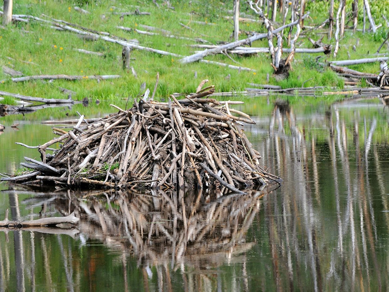 Beaver dam at Flat Tops Wilderness. Submitted by Jeff Hall.
