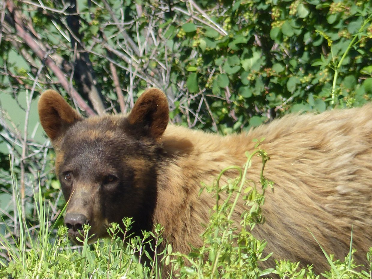 A bear on the side of the road up Rabbit Ears Pass. Submitted by Becky Pack.