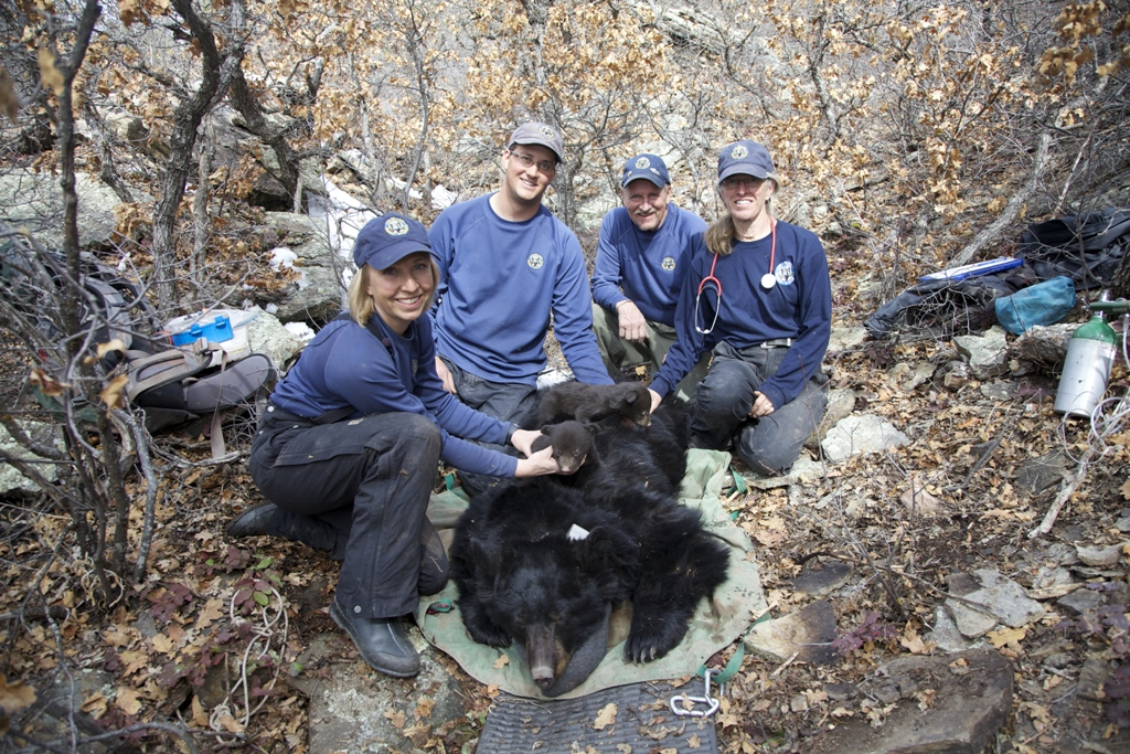 Researchers, from left, Heather Johnson, Colin Wait, Lyle Willmarth and Lisa Wolfe with a bear.