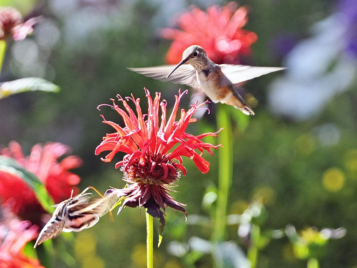 Hummingbird and Hummingbird Moth. Submitted by Jeff Hall.