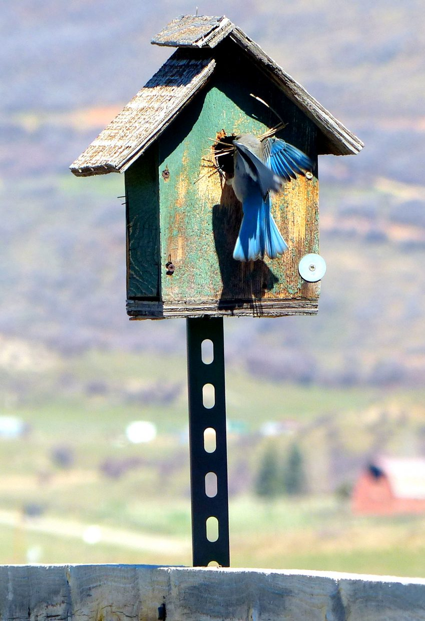 A beautiful little bird was busy bringing twigs and grass into this bird house along Elk River Road, north of Steamboat Springs. Submitted by Shannon Lukens.