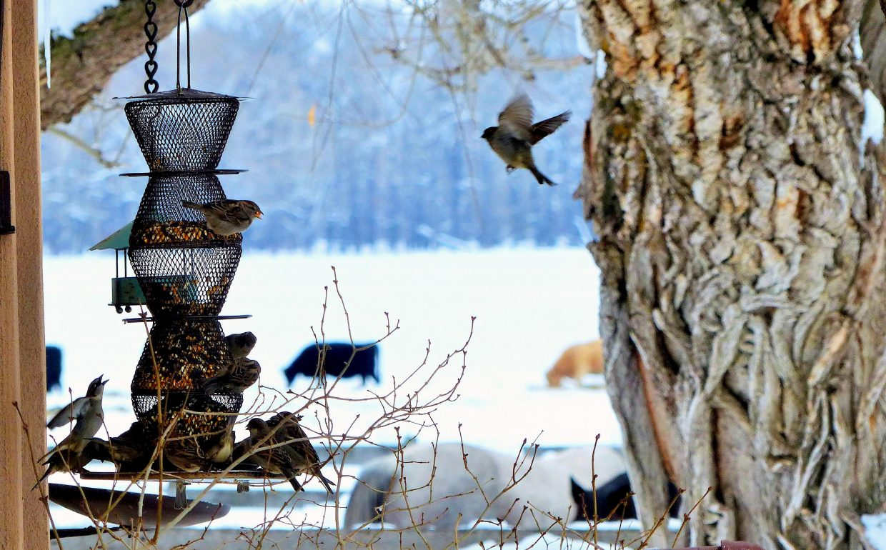 These birds are at the Daughenbaugh Ranch on County Road 44. Submitted by: Shannon Lukens.