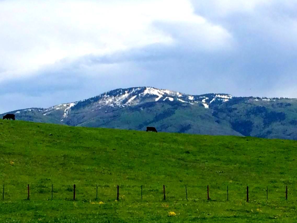 I snapped this picture today of a cow on the ridge, down Highway 131, with the Steamboat ski slopes in the background. Submitted by Shannon Lukens.