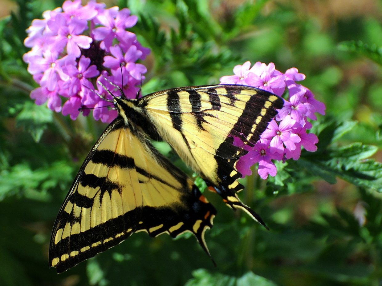 Butterfly at Yampa River Botanic Park. Submitted by: Jeff Hall