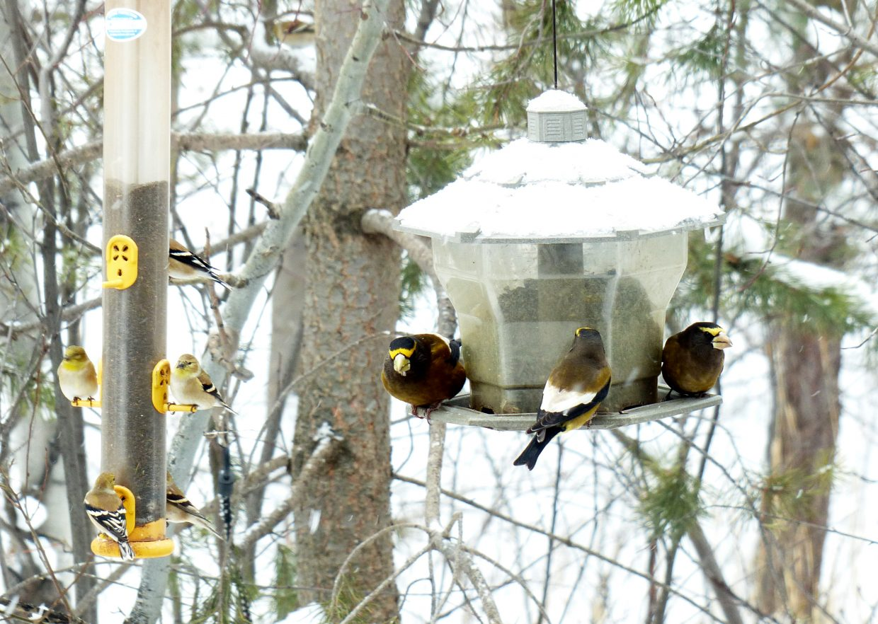 Study in yellow and black. American goldfinches, left, and evening grosbeaks seen during the 2014 Christmas Bird Count in Steamboat Springs. Submitted by: David Moulton