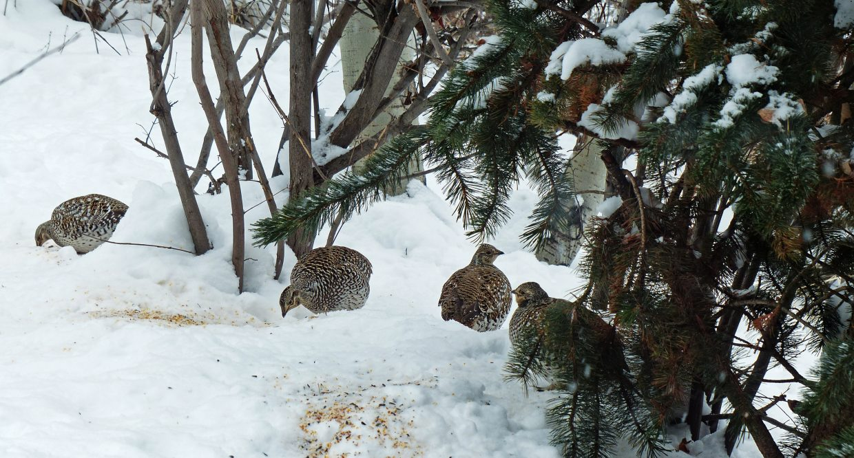 Sharp-tailed grouse seen on the 2014 Christmas Bird Count in Steamboat Springs. Submitted by: David Moulton