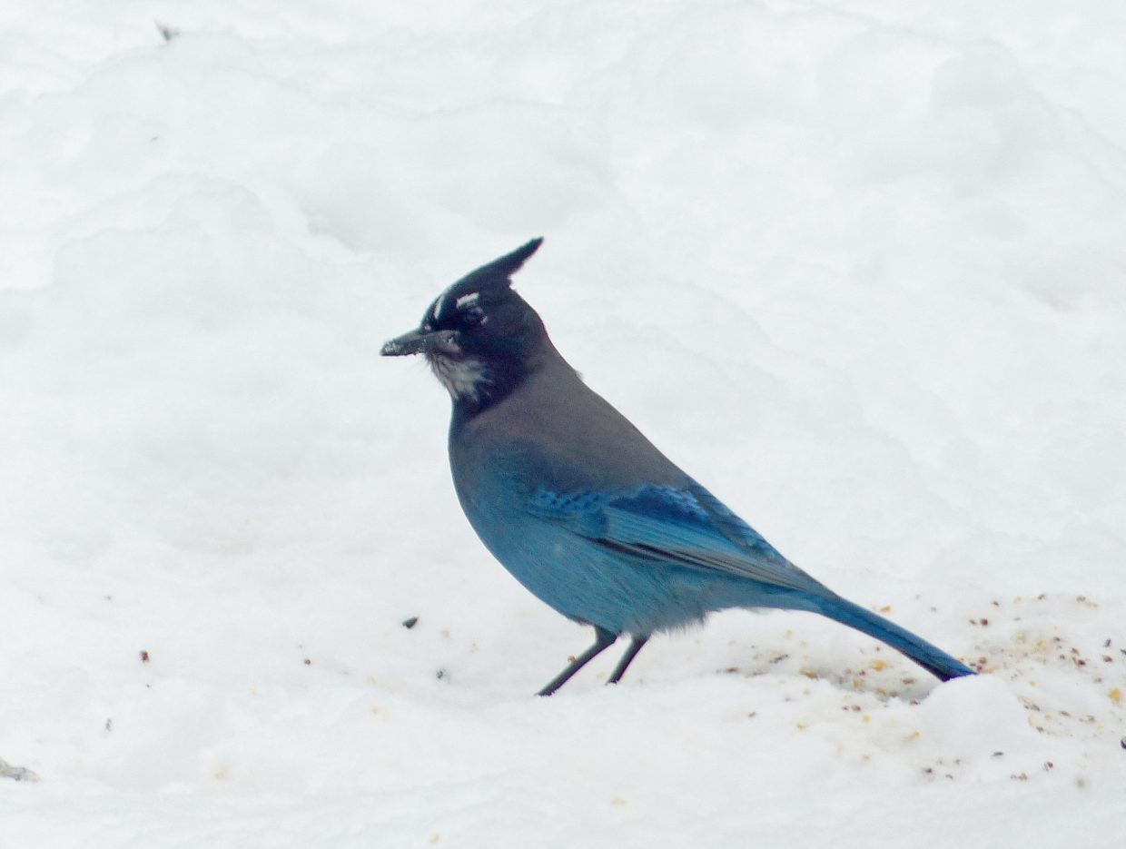 Steller's jay seen during the 2014 Christmas Bird Count in Steamboat Springs. Submitted by: David Moulton
