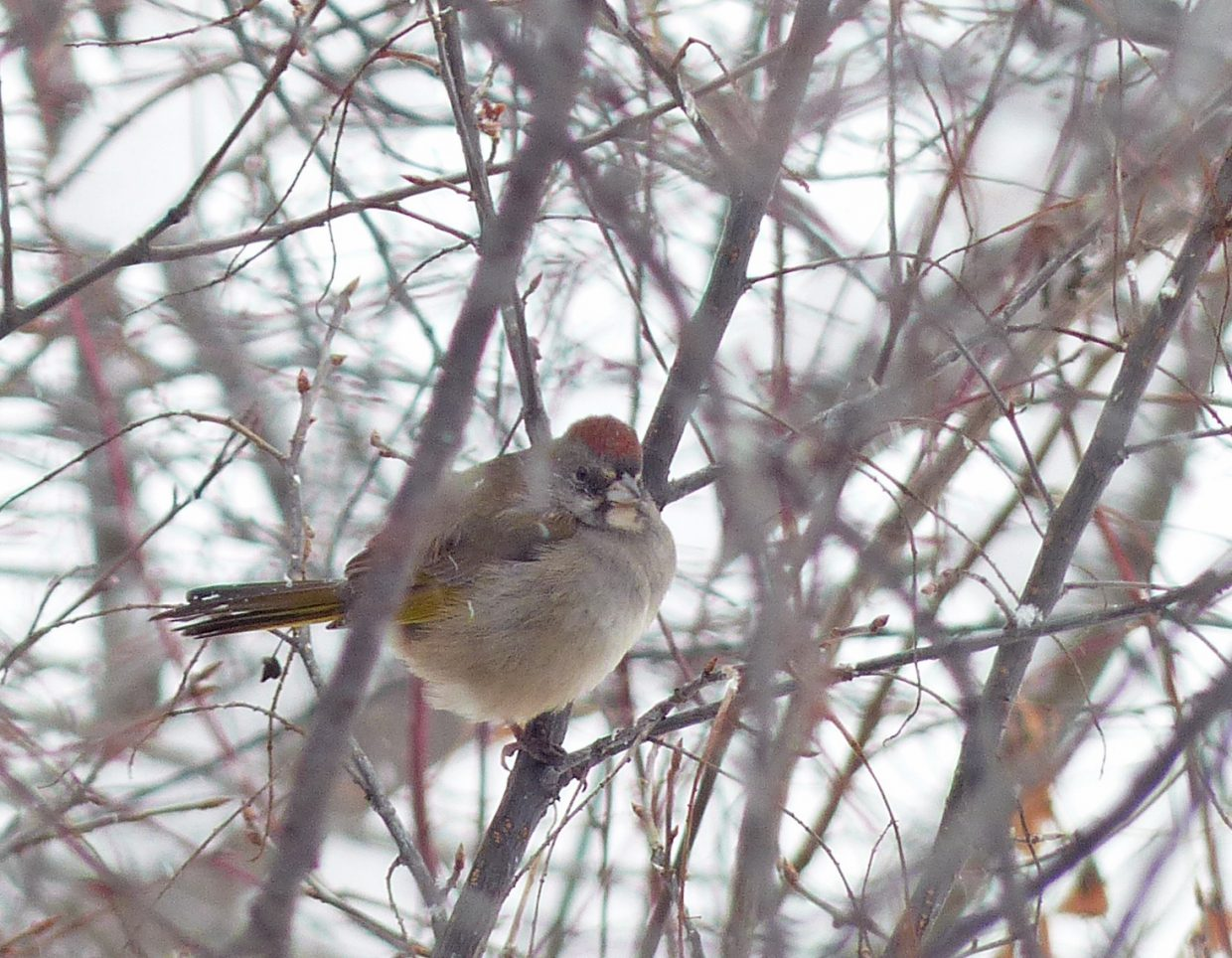 Green-tailed towhee seen during the 2014 Christmas Bird Count in Steamboat Springs. This bird is usually a summer resident in our area. It is quite rare to see them here in the winter. Submitted by: David Moulton