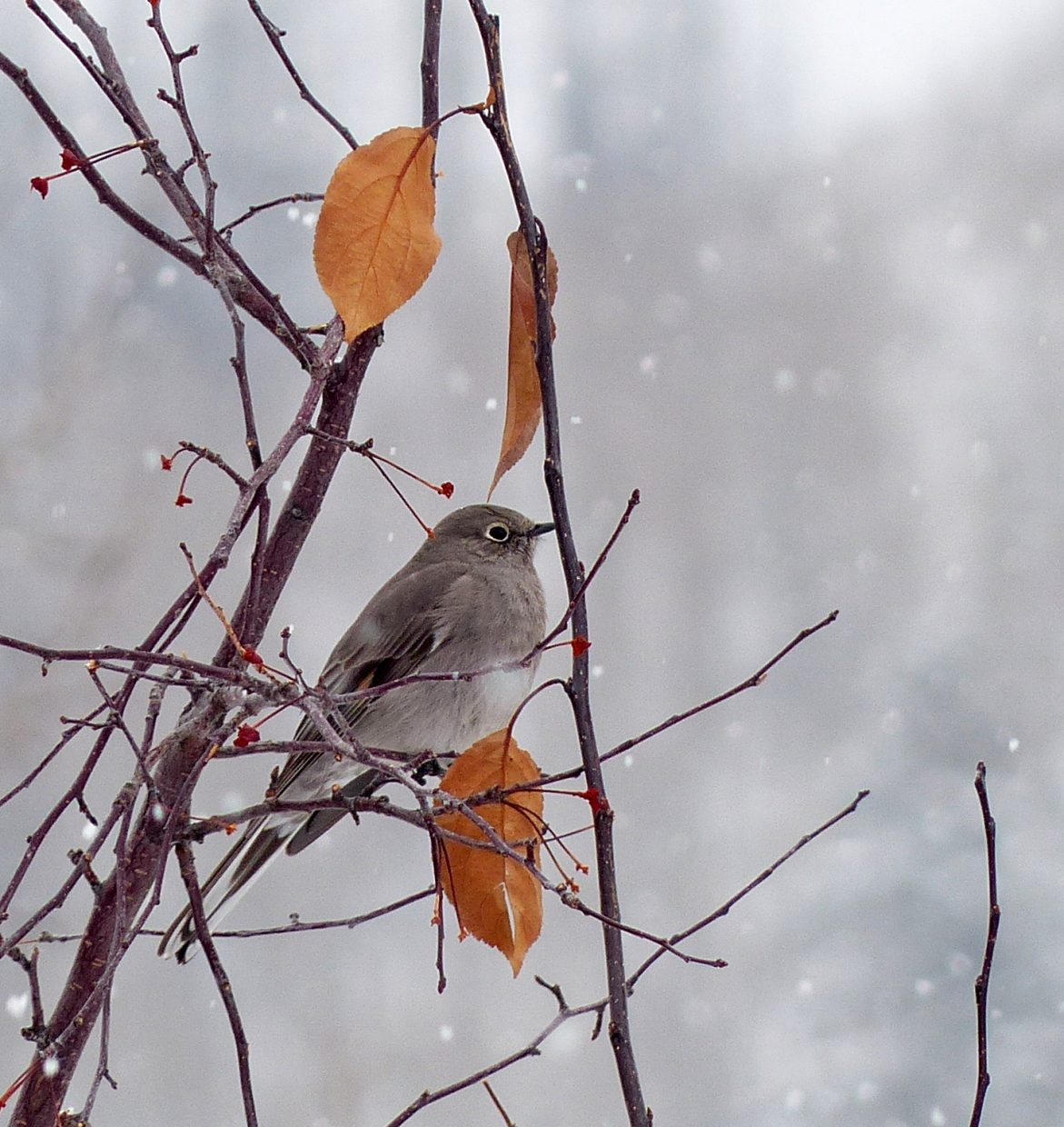Townsend's solitaire seen during the 2014 Christmas Bird Count in Steamboat Springs. Submitted by: David Moulton