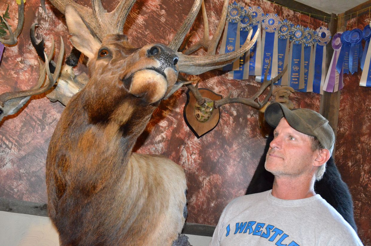 Taxidermist Mark Zimmerman examines his handiwork in the form of a six-point bull elk, a mount that won him multiple honors in the 2016 Colorado State Taxidermy Championships in June. Working full-time in the trade for the past 13 years, Zimmerman has shown his work at many competitions.
