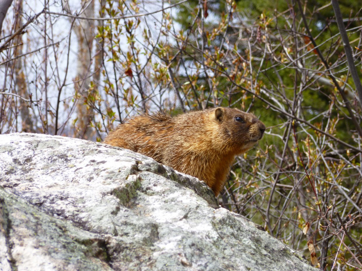 Marmot on a rock. Submitted by Carol Peregoy.