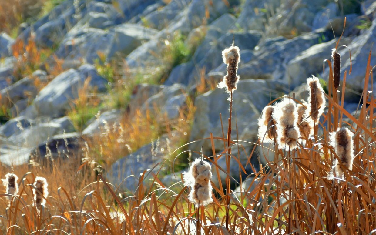 These cool cattails were glowing in the afternoon sun on Downhill Drive in Steamboat Springs today. Submitted by Shannon Lukens.