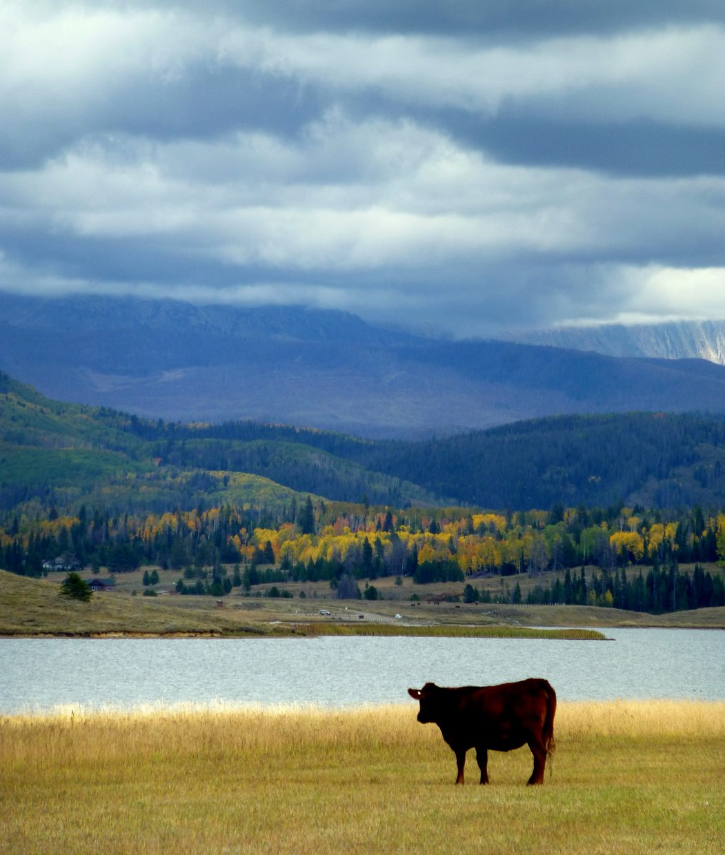 Cow at Steamboat Lake. Submitted by: Gail Hanley