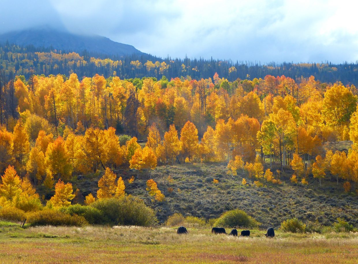 Cows graze north of Silverthorne. Submitted by: Shannon Lukens