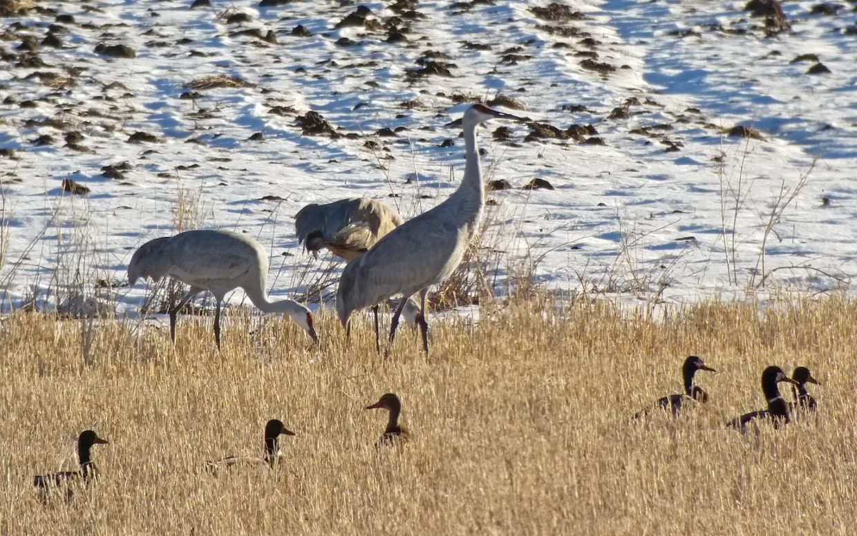 Sandhill Cranes are still here. These were seen Sunday, 11-22-2015 along RCR-42. Submitted by David Moulton.