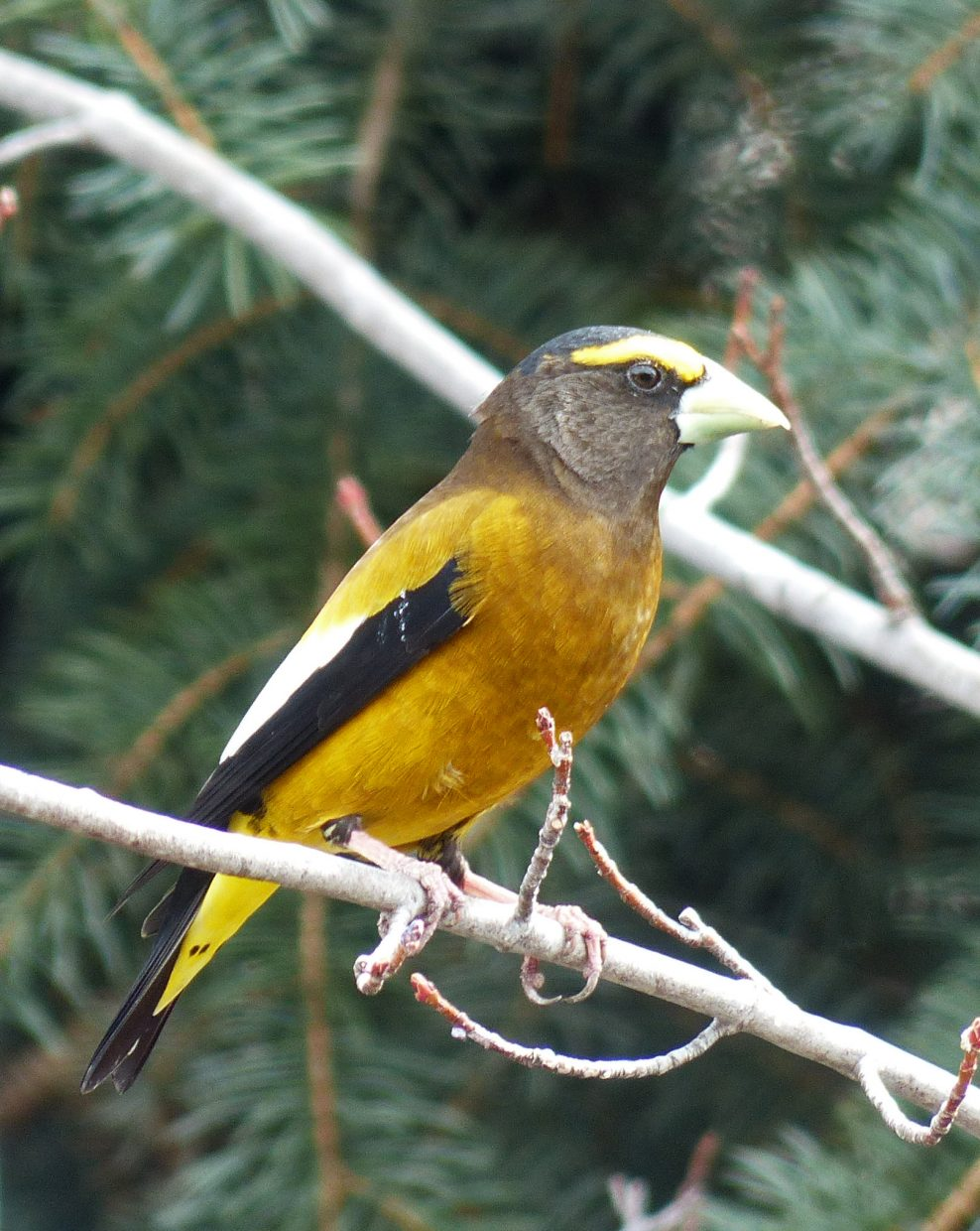 """""""Male Evening Grosbeak in fresh spring plumage."""" Submitted by David Moulton."""