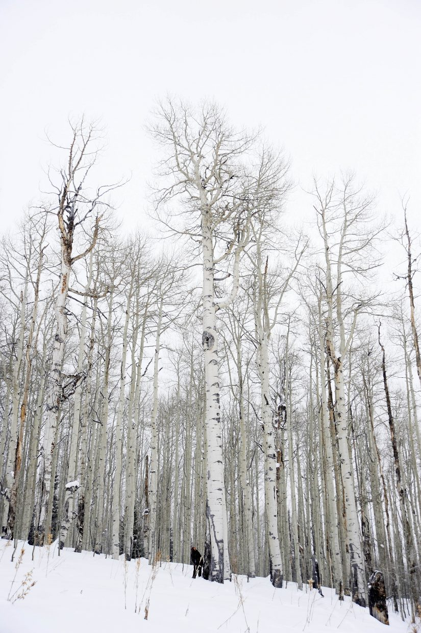 The big aspen tree in North Routt County has a circumference of 115.9 inches and towers 96 feet. It is estimated to be 150 years old.