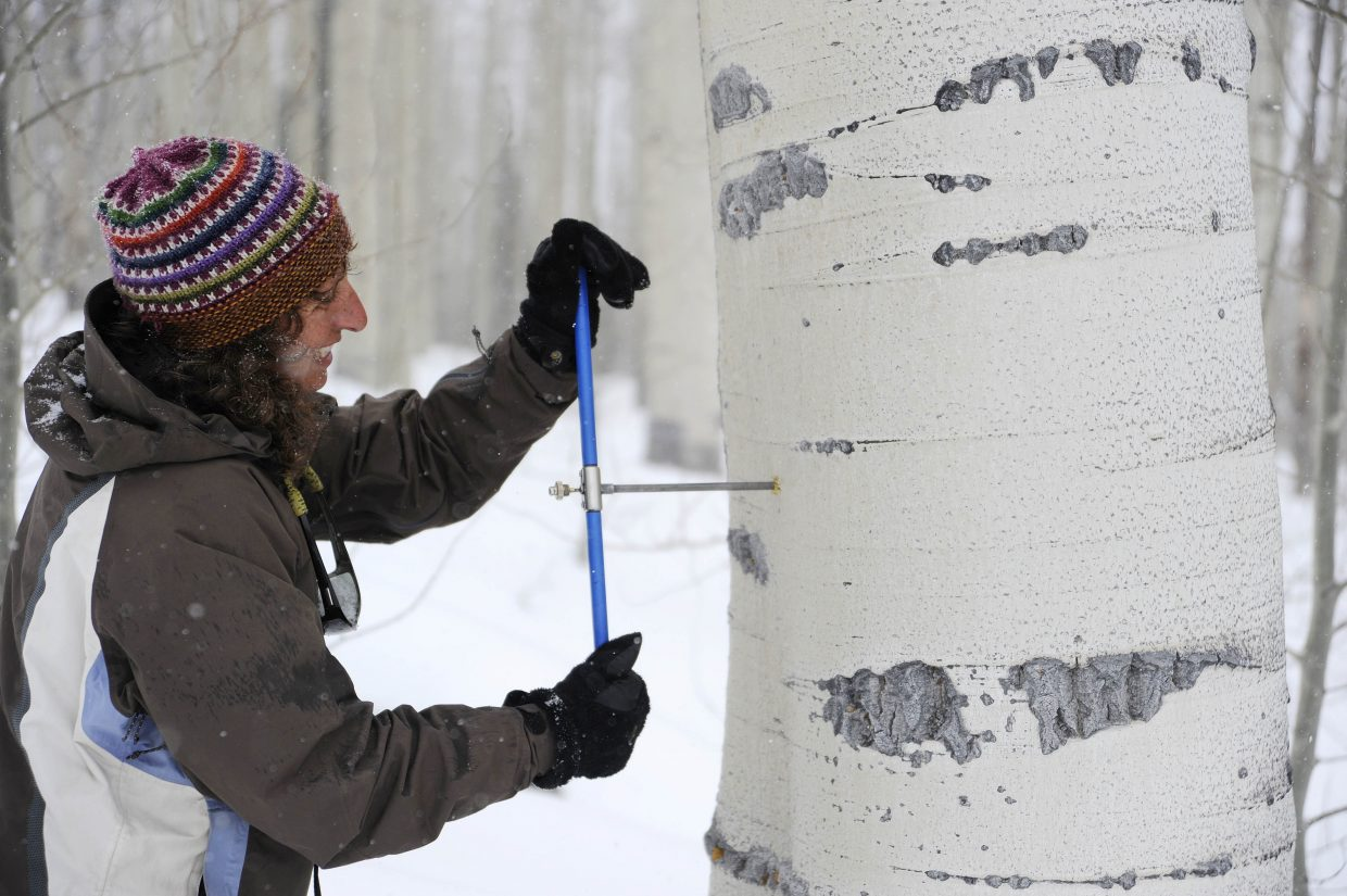 Amy Kenyon takes a core sample from a nearby aspen tree.
