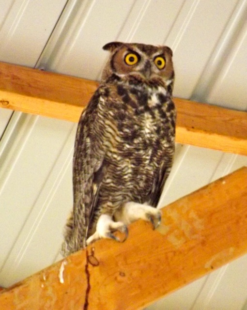 Great Horned Owl in the barn at Mystic Valley farm this week! Submitted by Jonathan Hands.