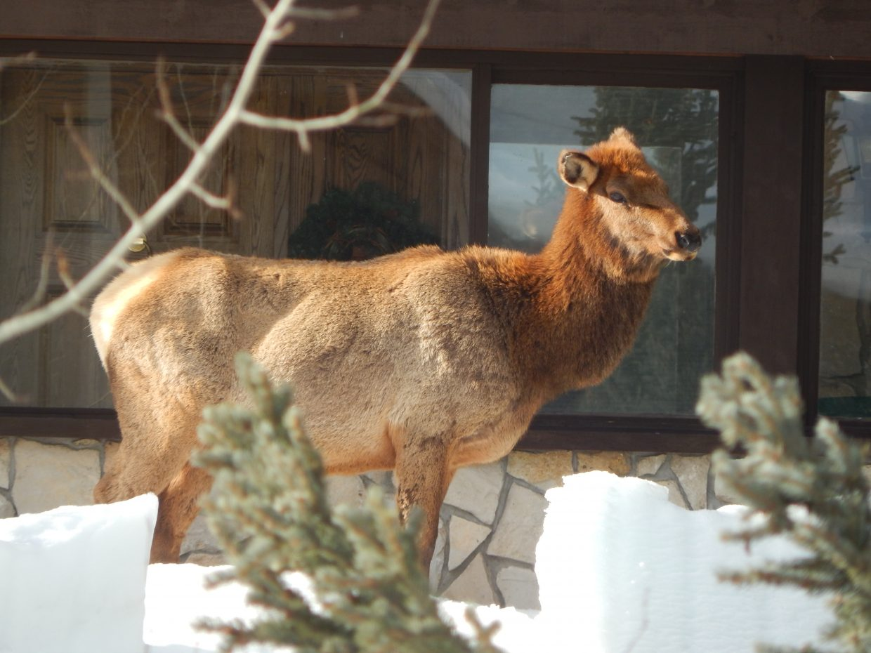 Anyone home? Here is a photo of a female elk hanging out on Natches Way across from The Ranch. Submitted by: Stacey Anderson