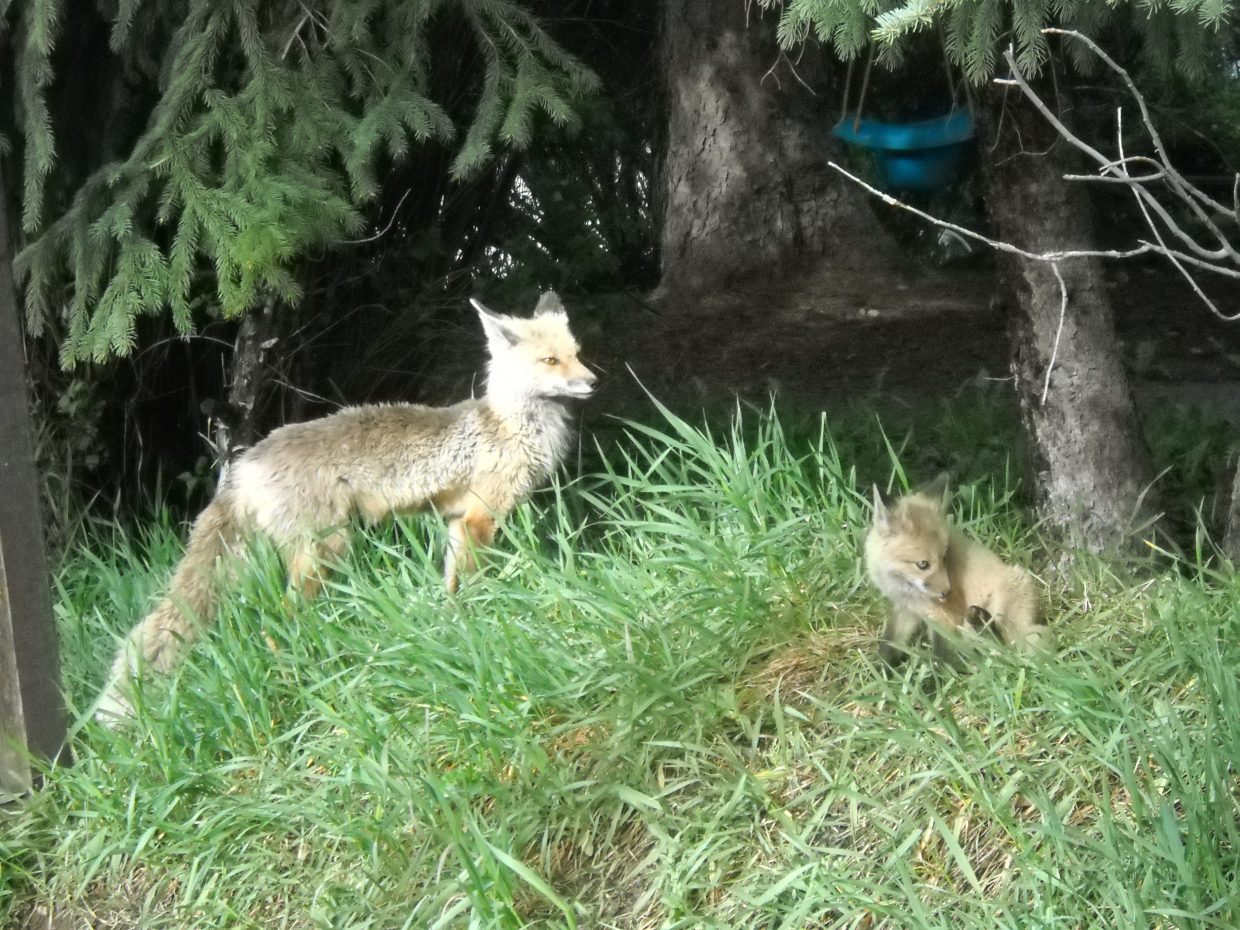 Neighborhood fox family. Submitted by: Shelly McGhan