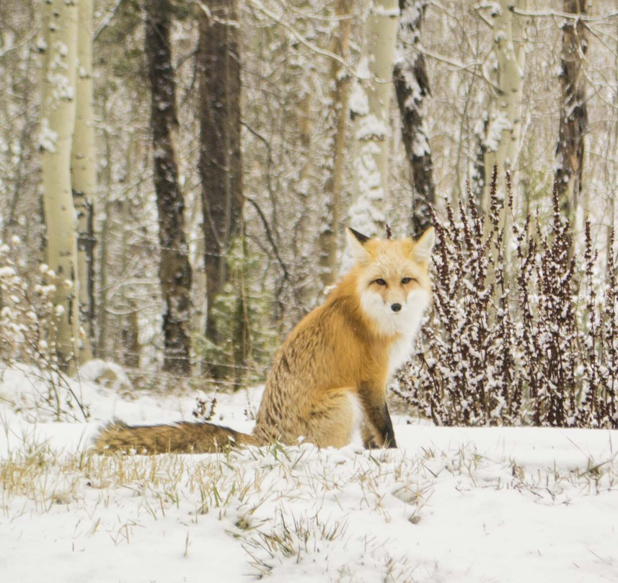 Our daily visitor, 'Snowflake' the fox. Hahns Peak. Submitted by Rachael Jacobson.