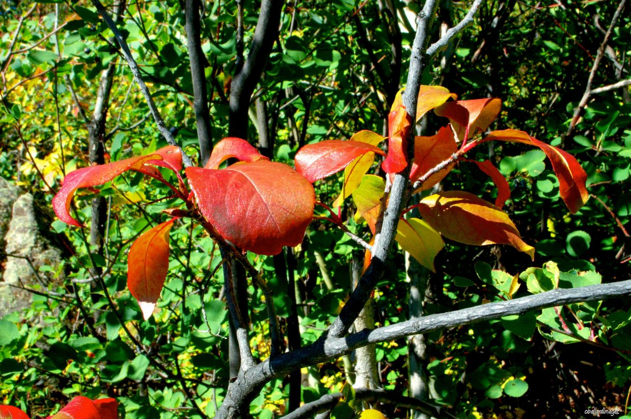 Leaves are in transition from green to red. Submitted by: Ollie Ballard