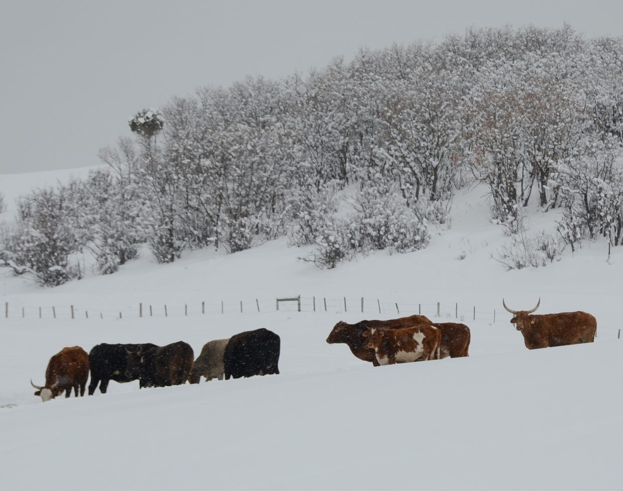 I drove up Elk River Road on Monday toward Clark. I stopped to take a few pictures of some snowy animals along the way. Submitted by: Shannon Lukens