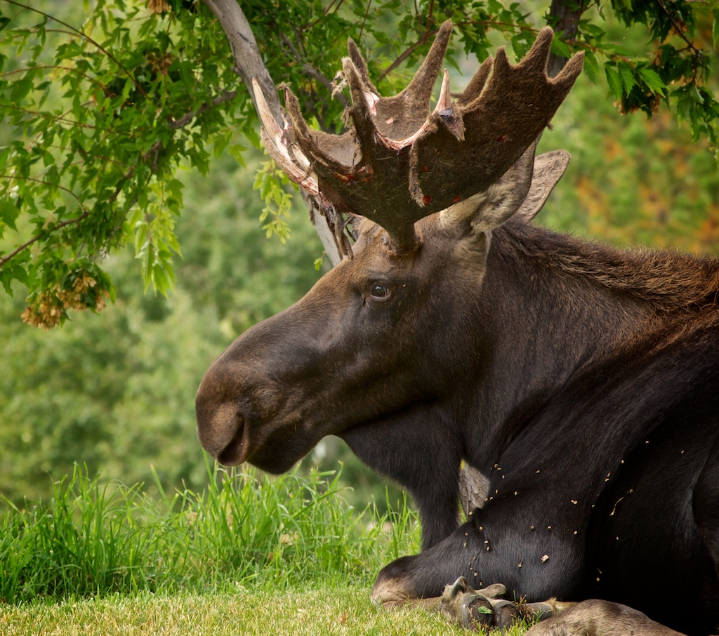 A bull moose hangs out in Dana Stoner's backyard. Stoner took the photo while enjoying a meal on a back deck.