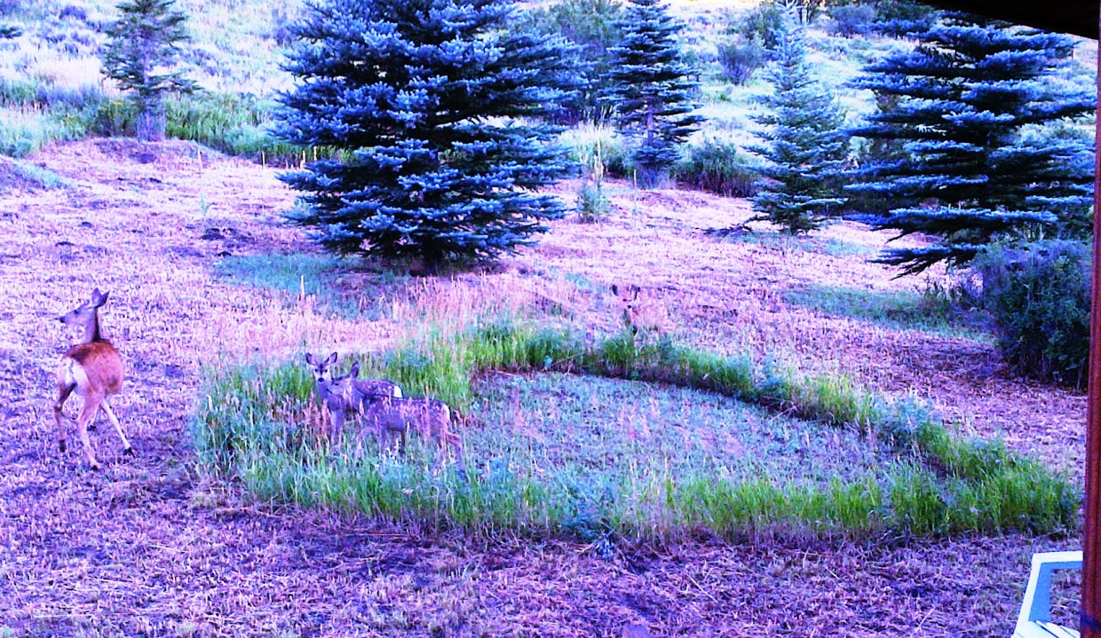 Mother deer and three fawns in our yard heart. Submitted by: Susan Viet