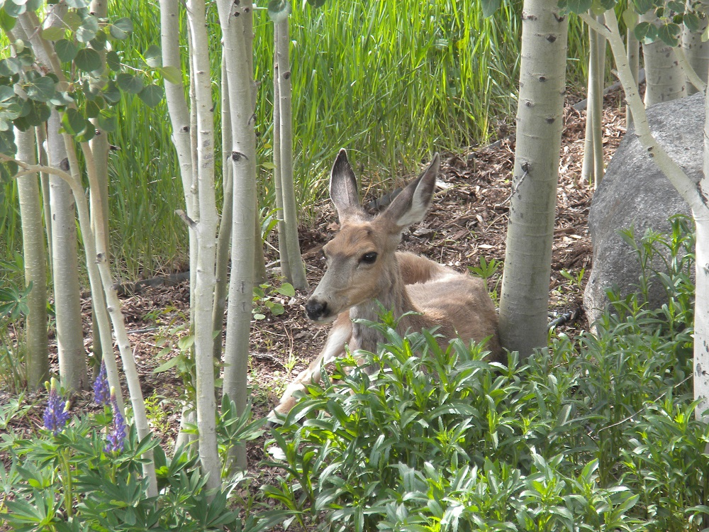 Deer resting in the shade of our backyard. Submitted by: Cindy Clark