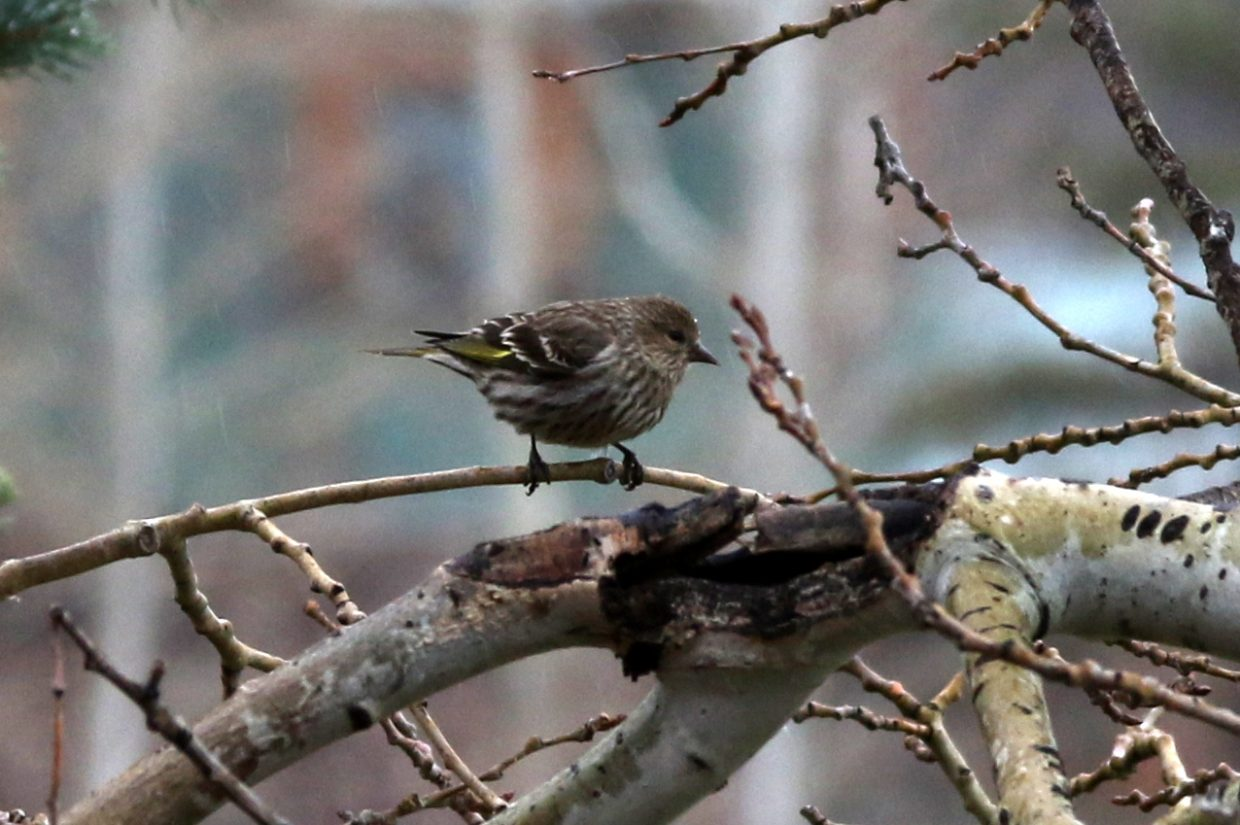 Pine Siskin perched on a branch. Submitted by Diane Miller.