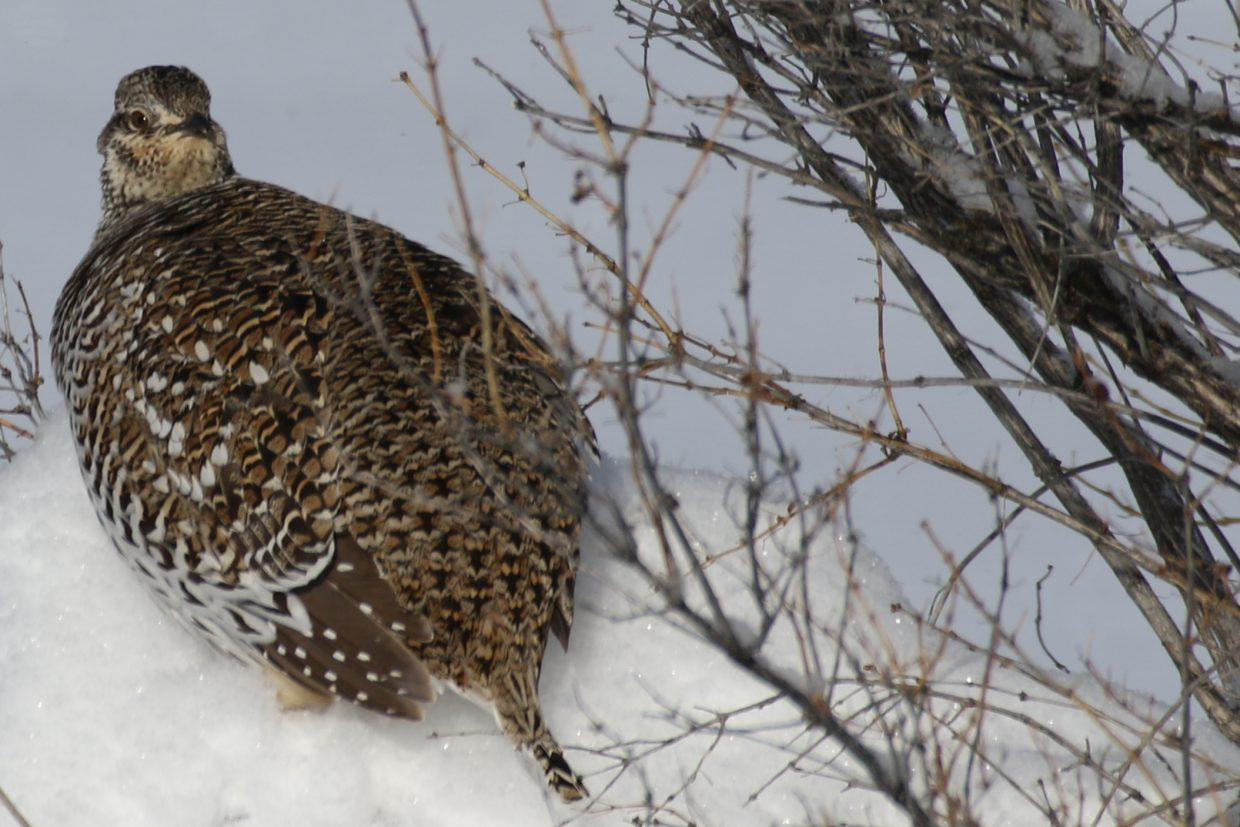 Sharp-tailed grouse. Submitted by Diane Miller.