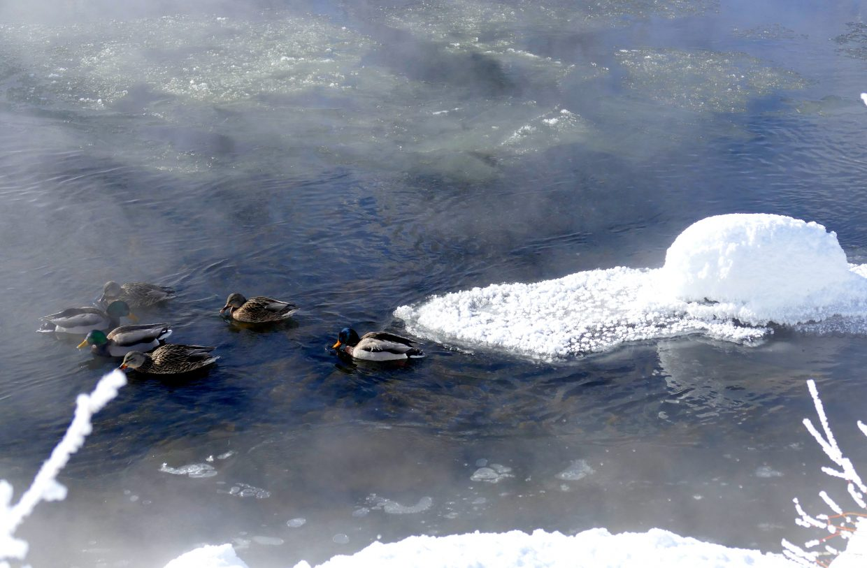Here are some ducks in the Yampa River. The first picture has the Train Depot in the background. The ducks are hanging around the warm water coming off of the Sulphur Spring, which is 72 degrees. Submitted by Shannon Lukens.