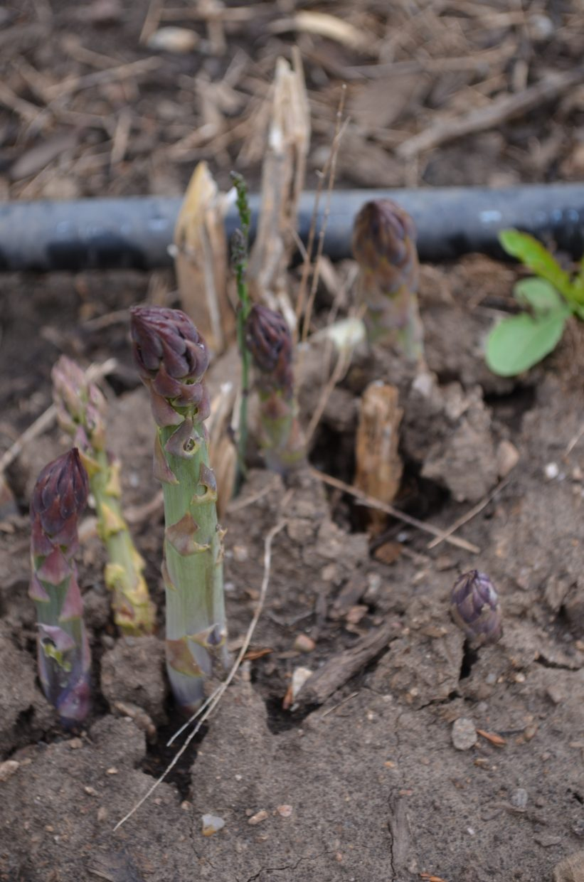 Asparagus ready to be harvested.